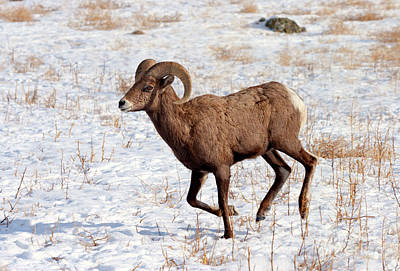 Bighorn Sheep Photograph - Ram On The Run by Mike Dawson