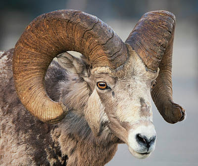 Photograph - Ram Tough by Loree Johnson
