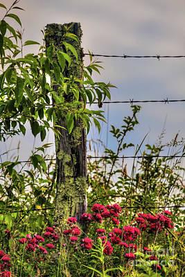 Photograph - Rambling Red Roses In The Blue Ridge by Dan Carmichael