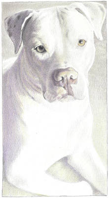 Pitbull Drawing - Rambo Progress by Lorraine Zaloom