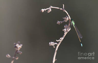 Photograph - Rambur's Forktail  by Ruth Jolly