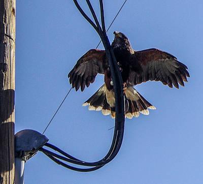 Photograph - Ramona Hawk 5 by Phyllis Spoor