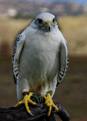 Photograph - Ramona Hawk Watch 2 by Phyllis Spoor