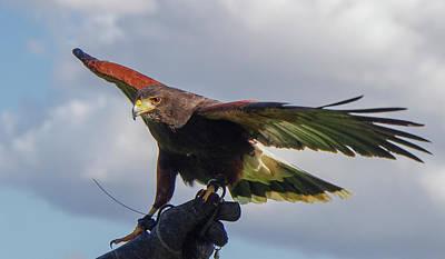 Photograph - Ramona Hawk Watch 3 by Phyllis Spoor