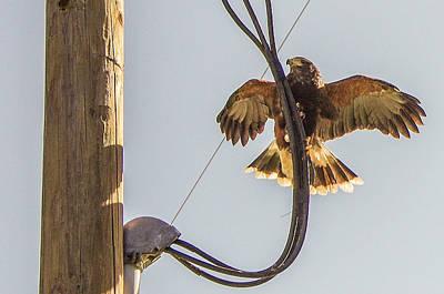 Photograph - Ramona Hawk Watch 4 by Phyllis Spoor