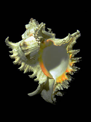 Photograph - Rams Horn Seashell Murex Ramosus by Frank Wilson