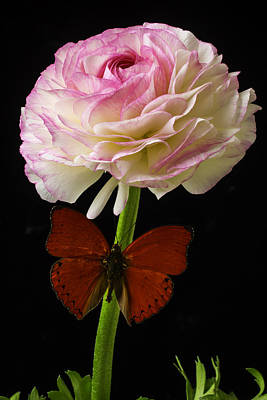 White Ranunculus Flower Photograph - Ranunculus And Red Butterfly by Garry Gay