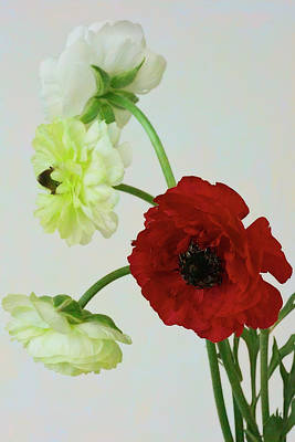 Photograph - Ranunculus Collection by Sandra Foster