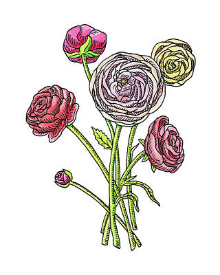 Ranunculus Wall Art - Painting - Ranunculus Flower Botanical Watercolor by Irina Sztukowski