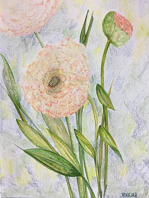 Drawing - Ranunculus by Norma Duch