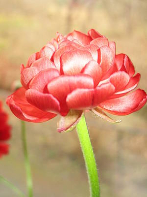 Redish Photograph - Ranunculus by Rosita Larsson