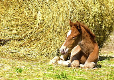 Photograph - Rapid The Eight Hour Old Foal by Sandi OReilly