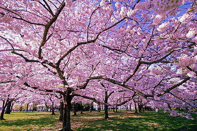 Cherry Tree Photograph - Rapt Away by Mitch Cat