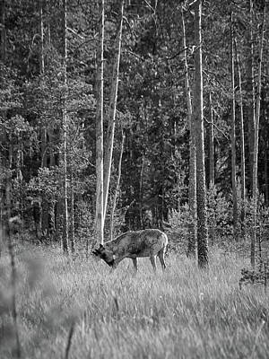Photograph - Rare And Wild. Finnish Forest Reindeer Bw by Jouko Lehto