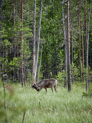 Photograph - Rare And Wild. Finnish Forest Reindeer by Jouko Lehto