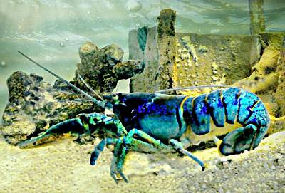 Photograph - Rare Blue Lobster by Diana Angstadt