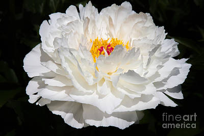 Photograph - Rare China Peony by Chris Scroggins