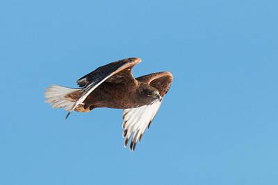 Rare Dark Morph Ferruginous Hawk In Flight Art Print