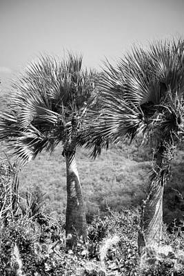 Photograph - Rare Palm Trees Curacao by For Ninety One Days
