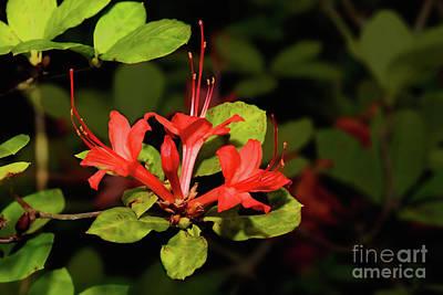 Photograph - Rare Red Plum Leaf Azalea Flower by Vizual Studio