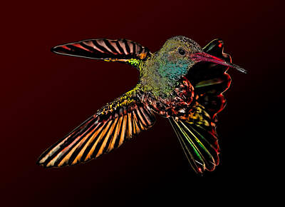 Broadbilled Hummingbirds Photograph - Rare Vampire Hummingbird by Gregory Scott