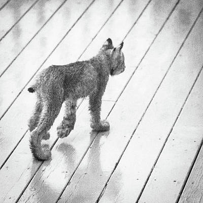 Photograph - Lynx Kitty Stroll by Tim Newton