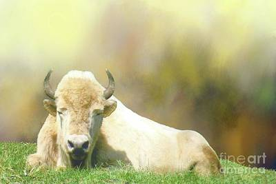 Photograph - Rare White Buffalo by Janette Boyd