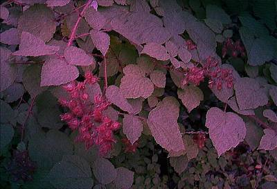 Photograph - Raspberries by Fran Kelly