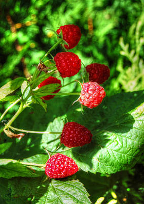Photograph - Raspberries by Pennie  McCracken