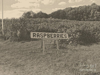 Photograph - Raspberry Fields  by September  Stone