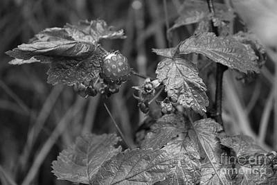 Photograph - Raspberry Patch by Ann E Robson
