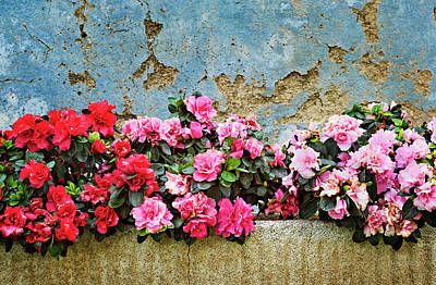 Photograph - Raspigliosi Blooms by Jill Love