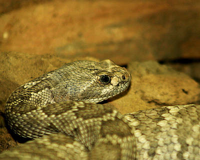 Photograph - Rattle Snake 1 by Anthony Jones