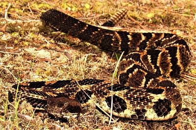 Photograph - Rattlesnake 3 by Joshua Bales