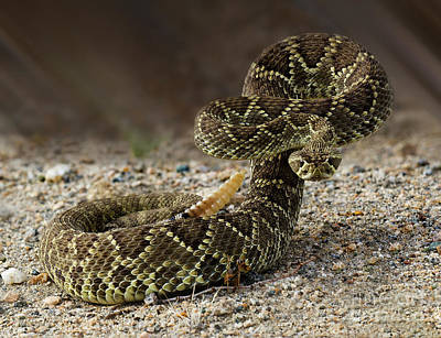 Mohave Green Rattlesnake Striking Position 2 Art Print by Bob Christopher