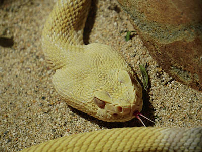 Photograph - Rattlesnake Closeup by Richard Stephen