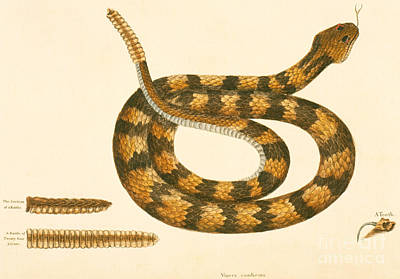 Snake Drawing - Rattlesnake by Mark Catesby