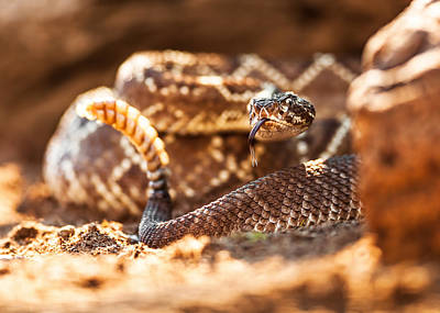 Reptiles Royalty-Free and Rights-Managed Images - Rattlesnake On Ground by Susan Schmitz