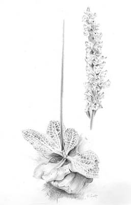 Drawing - Rattlesnake Orchid by Penrith Goff