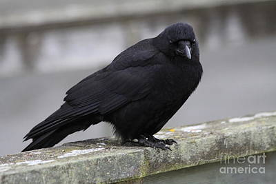 Photograph - Raven by Alyce Taylor