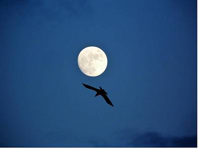 Photograph - Raven And Christmas Moon by Deborah Moen