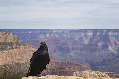 Caravaggio - Raven at the Grand Canyon by Stephanie McDowell