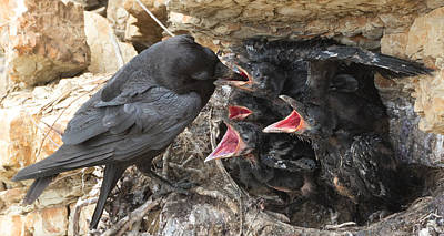 Photograph - Raven Babies Breakfast by Kathleen Bishop