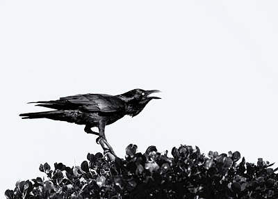 Photograph - Raven Black by Nicholas Blackwell