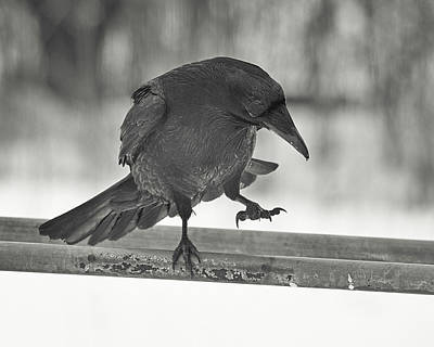 Photograph - Raven Boogie by Susan Capuano