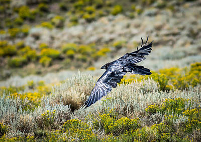 Photograph - Raven Flying Over Sage Brush by John Brink