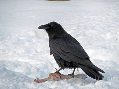 Photograph - Raven Found A Meal by Cindy Murphy - NightVisions