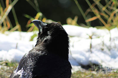 Photograph - Raven In The Sun by Alyce Taylor