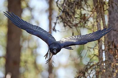 Huginn Photograph - Raven Incoming Flight by Jestephotography Ltd