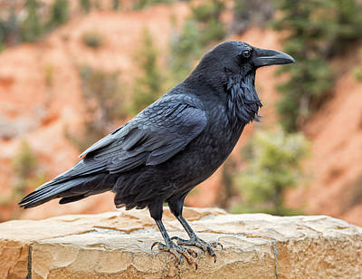 Photograph - Raven Of The Canyon by Denise Bush